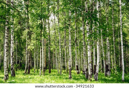 summer birch forest landscape view - stock photo