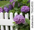 Summer Blooms - purple hydrangeas on white picket fence - stock photo