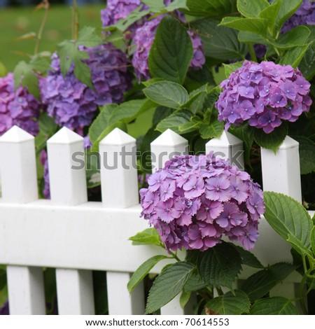 Summer Blooms - purple hydrangeas on white picket fence - stock photo