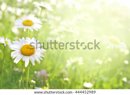 Summer blossoming daisies on meadow, selective focus