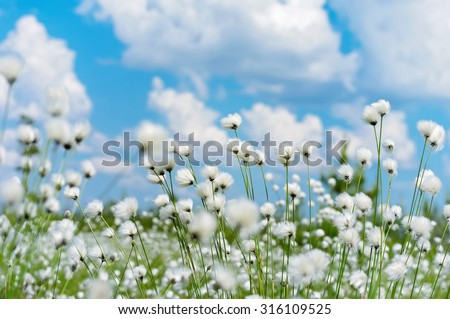 Summer bright landscape with blooming cotton grass - stock photo