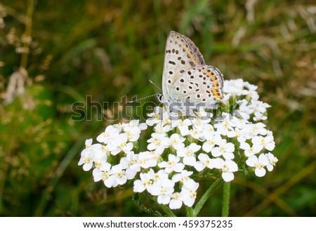 summer! butterfly / yarrow - stock photo