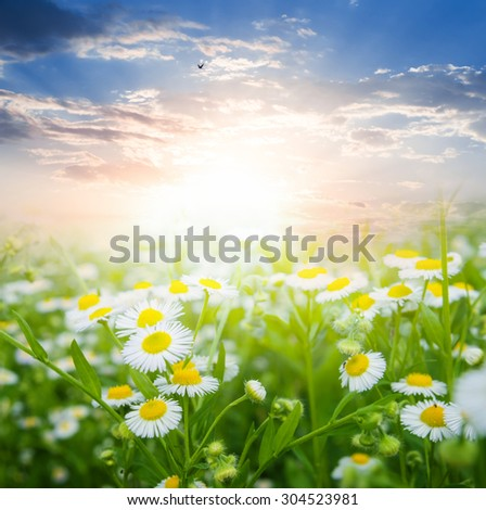 summer camomiles field - stock photo