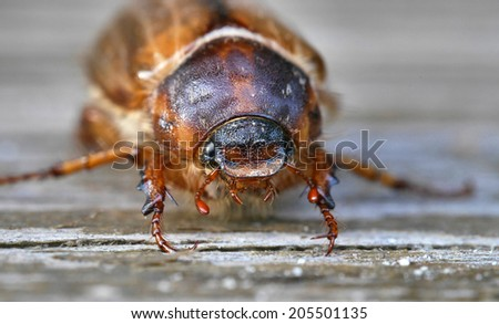 summer chaver (june bug) - stock photo