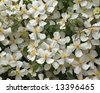 Summer climbing plant (botanical name Clematis Montana Alba) - stock photo