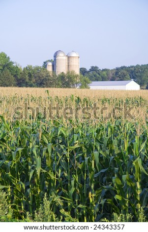 Summer corn growing in a field with farm in background