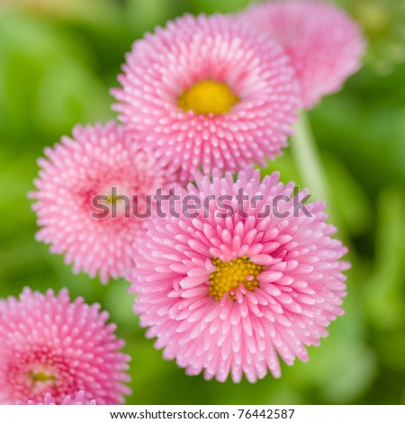 Summer daisy flowers - stock photo