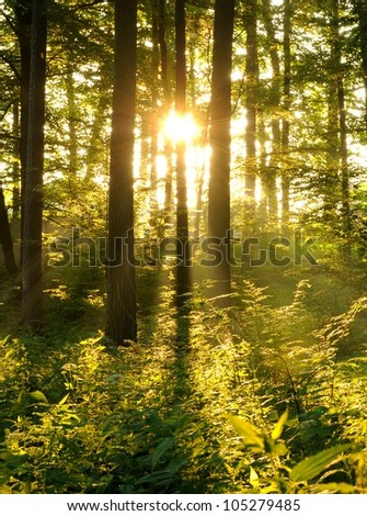 Summer dawn in old beech forest - stock photo