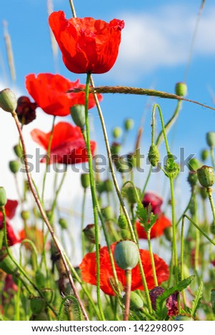 Summer day in  meadow full of blooming poppies. - stock photo