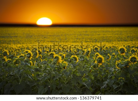 Summer day sunrise over a landscape field of sunflowers. - stock photo