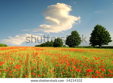 summer field of red poppies - stock photo
