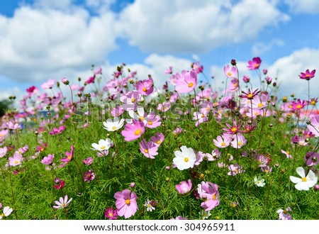 Summer field with daisies on blue sky - stock photo