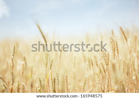 Summer field with golden wheat  - stock photo
