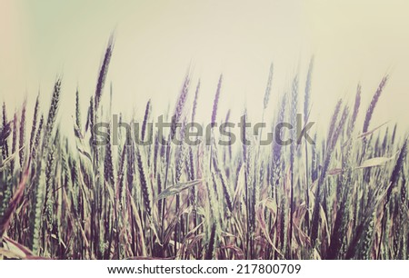 Summer field with golden wheat in retro style - stock photo