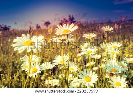 Summer field with white daisies. Dramatic morning scene. Ukraine, Europe. Beauty world. Retro style filter. Instagram toning effect. - stock photo