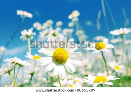 Summer field with white daisies on blue sky - stock photo