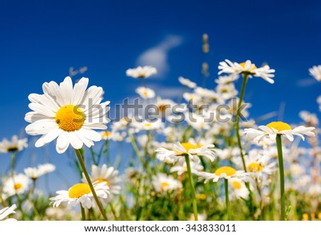 Summer field with white daisies on blue sky. Ukraine, Europe. Beauty world. - stock photo