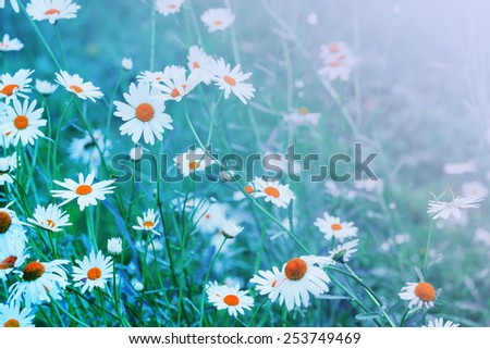 Summer field with white daisies / toned picture - stock photo