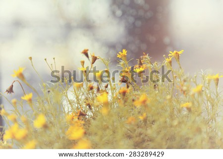 Summer field with yellow flower / toned picture