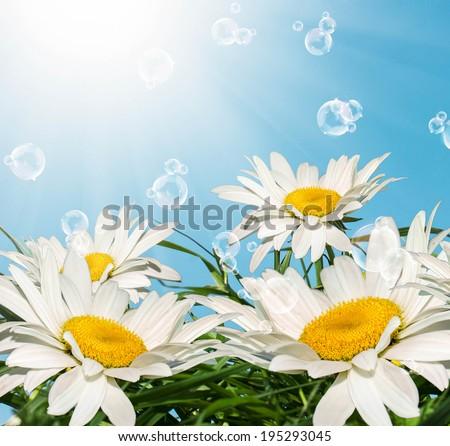 Summer flower chamomile.Beauty Nature - stock photo