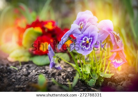 Summer flower garden beet with red primula and blue  heartsease , outdoor - stock photo