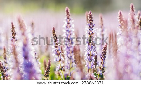 Summer flowerbed of beautiful blooming bright purple woodland sage flower (Salvia nemorosa) on blurred background, muted retro colors - stock photo