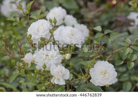 Summer flowering shrub white roses / Shrub Roses - stock photo