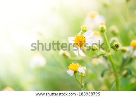 Summer flowers - daisy sunshine in summer - stock photo