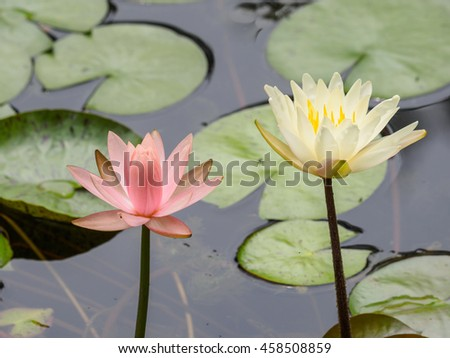 Summer flowers series, beautiful water lily in pond. - stock photo