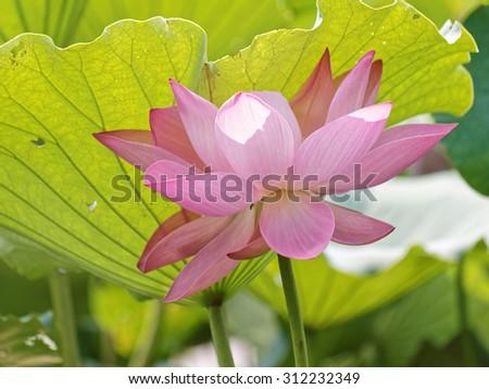 Summer flowers series, Lotus flower and Lotus flower plants - stock photo