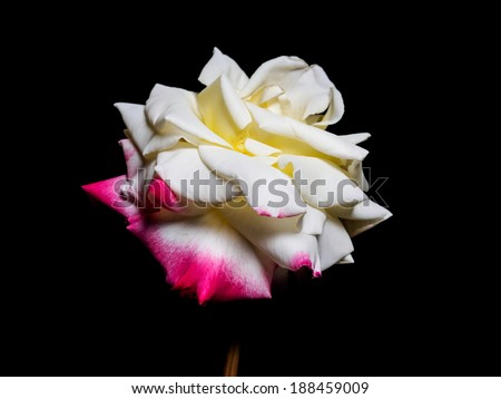 Summer flowers series, single yellow China rose with red edge isolated in black background
