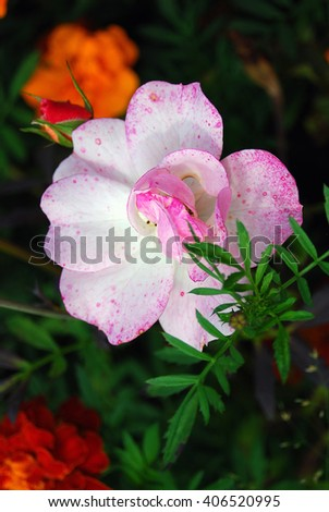 Summer flowers. Taken in Botanic garden in Kaliningrad, Russia. - stock photo