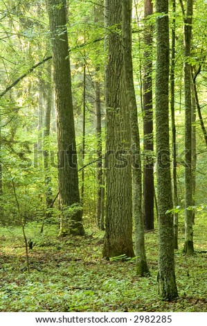 Summer forest in the morning,rain after,europe,poland,bialowieza forest