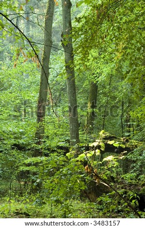 Summer forest in the morning,rain after,europe,poland,bialowieza forest - stock photo