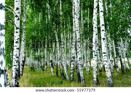 Summer forest. White birch trees in row