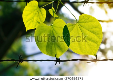 Summer fresh green leaves on the barbed wire in sunshine nature background - stock photo