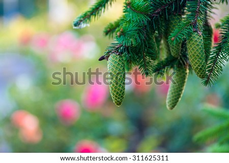 Summer green fir-tree with the big green cones Soft focus background - stock photo