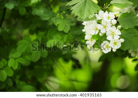 Summer green natural background, blooming hawthorn, blurred image, selective focus, shallow depth of field - stock photo