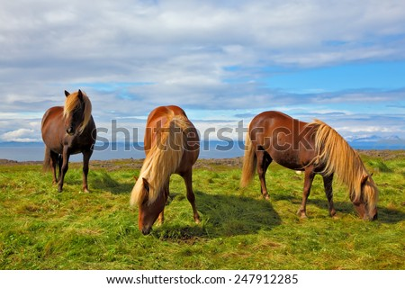 Summer in Iceland. Charming horses on free ranging on the beach - stock photo