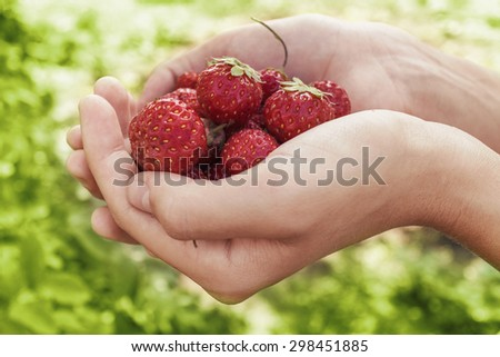 Summer in the palms: strawberry lie in female hands - stock photo