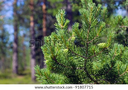 Summer in the woods.  Pine branch with green buds on the background of the young forest. - stock photo
