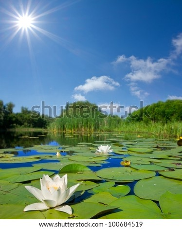 summer lake with lilies - stock photo