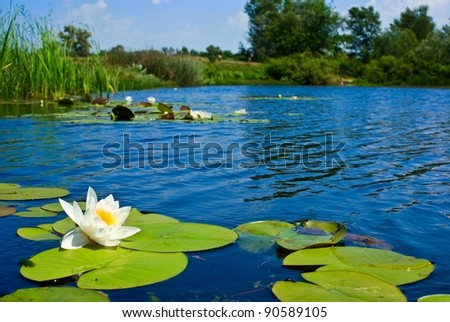 summer lake with lilies