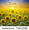 Summer landscape: beauty sunset over sunflowers field - stock photo