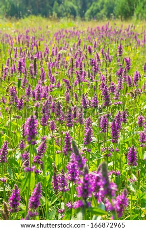 Summer Landscape. Blooming Betonica officinalis L. - stock photo
