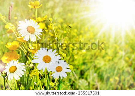 Summer landscape. Chamomile flowers and buttercups - stock photo