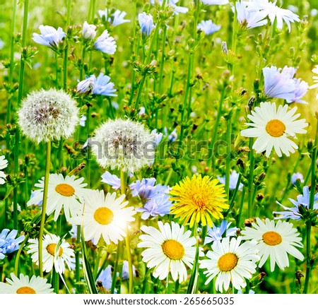 Summer landscape. Chamomile flowers and dandelions - stock photo