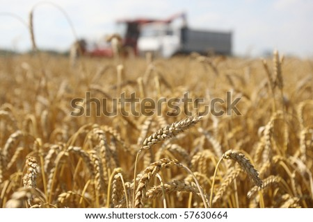 Summer landscape - combine working on a wheat field - stock photo