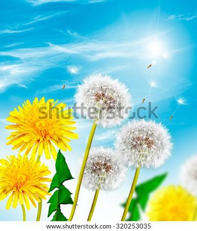 Summer landscape. Flowers  dandelion - stock photo