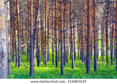 Summer landscape, forest with pines - stock photo